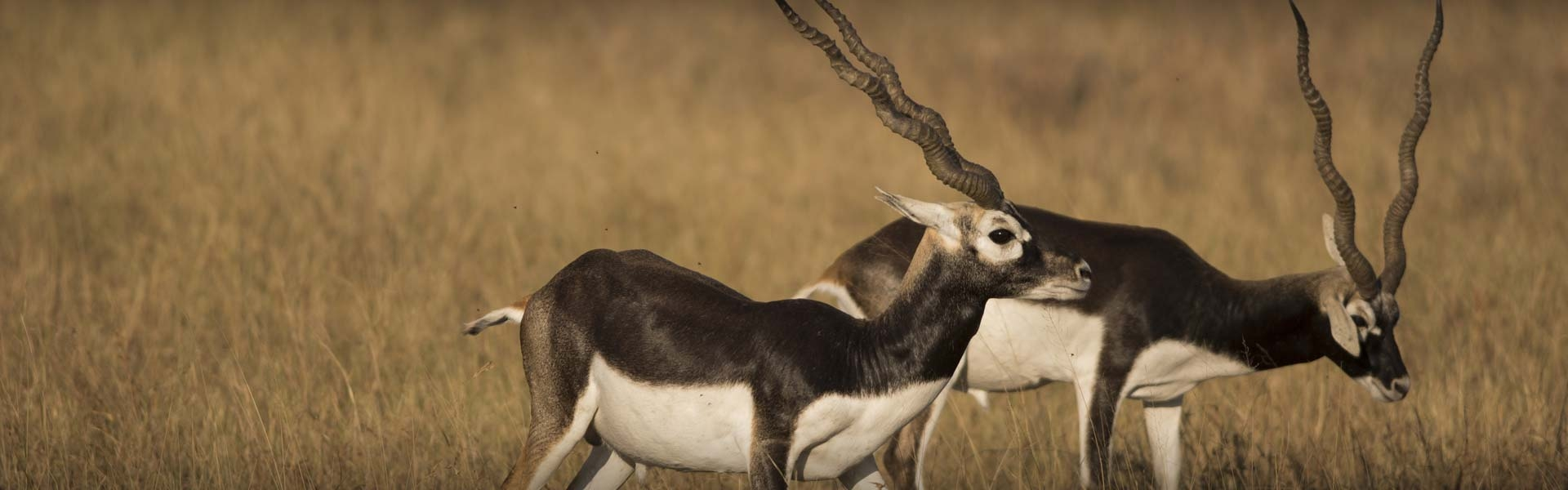 Texas Trophy Blackbuck Hunts